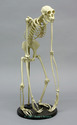 Articulated Siamang Skeleton
