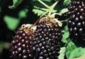 Beranza Boysenberry Extract